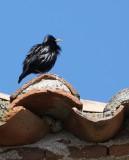 Spotless Starling - Sturnus unicolor - Estornino negro - Estornell negre
