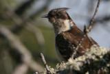 Great spotted cuckoo - Clamator glandarius - Crialo - Cucut reial