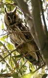 Long-eared Owl - Asio otus - Buho chico - Mussol banyut