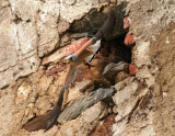 Lesser kestrel - Falcoa naumanni - Cernicalo primilla - Xoriguer petit