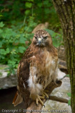 Red Tailed Hawk - Revisited
