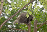 Porcupine in a Tree?