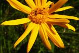 doronic à grandes fleursDoronicum grandiflorum