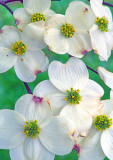 Dogwood, Shawnee National Forest, IL