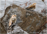 Snow Buntings at Lower Green's Run boat launch, Bald Eagle State Park, PA