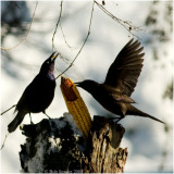 Common Grackles seeking food while migrating; Or the great maize mania!!