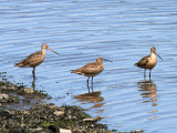Whimbrel and Marbled Godwits