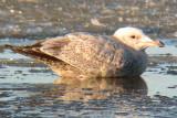 Nelson's Gull (Herring x Glaucous Gull)