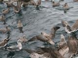 Northern Fulmars swarm behind our boat