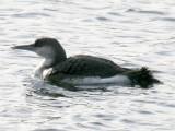 Arctic Loon