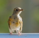 Common Myna, juvenile