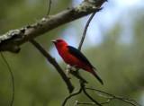 scarlet tanager 161