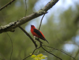 scarlet tanager 168