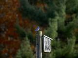 november blue  079