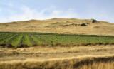 Lush Vineyards