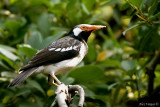 Asian Pied Starling -- sp 75
