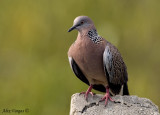 Spotted Dove -- sp 109