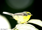 Yellow-bellied Fantail -- sp 100