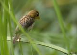 Streak Weaver - molting -- sp 103