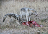 Wolves on carcass