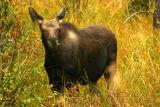 Moose Calf at Elk Creek