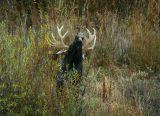 Flehming bull moose