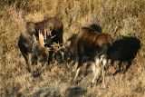 2 bulls sparring
