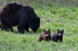Rosie and her cubs