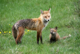 Fox mom and kit