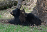 Rosie with cubs