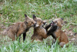 Playing fox kits