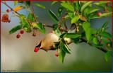 BIRDS  LOVE BERRIES