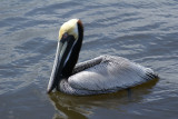 A funny looking bird is a pelican...