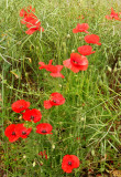 Poppies in Oilseed Rape Field