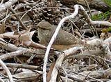 Rock Wren - Enid Lake MS - G. Knight.jpg
