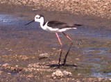 Black-necked Stilt - South American subspecies nesting in TN. ? Now Mystery Possibly Solved by Alvaro Jaramillo