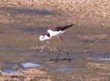 Black-necked Stilt - melanurus - Ensley  - 6-10-08