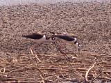 Black-necked Stilt - melanurus - mexicanus at nest.