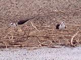 Black-necked Stilt - melanurus -mexicanus male on nest