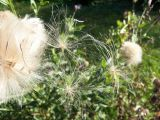 fly away seed pods