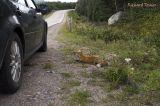 Parc national Gros Morne - Renard Roux pict3517.jpg
