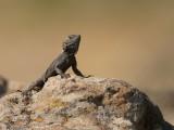 Hardoen - Agame Lizard