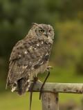 Amerikaanse Oehoe - Bubo virginianus - Great horned Owl