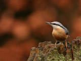 Boomklever Nuthatch
