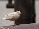 Grote Burgemeester -Glaucous Gull
