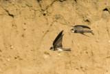 Oeverzwaluw / Riparia riparia / Sand Martin