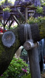 Kameido shrine in wisteria season