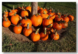 Pumpkins @ The Elk Grove Harvest Festival