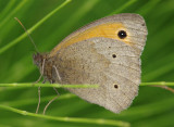 Probably a Meadow brown and not a Gatekeeper after all