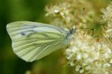 Green Vein White